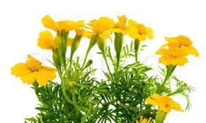 marigolds-a